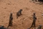 Erdmännchen Al Ain Zoo