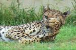 Leopard Al Ain Zoo