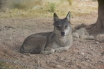 Wolf Al Ain Zoo