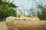 Löwin Al Ain Zoo