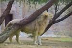 Löwe Al Ain Zoo