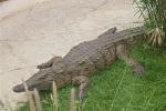 Krokodil Al Ain Zoo