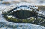 Krokodilsauge