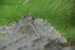 Krokodilschwanz