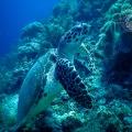 Schildkröte Unterwasser